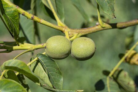Branch of ripe walnuts on tree in garden. Two growing green walnuts on the branch of a walnut tree in fruit garden, close up
