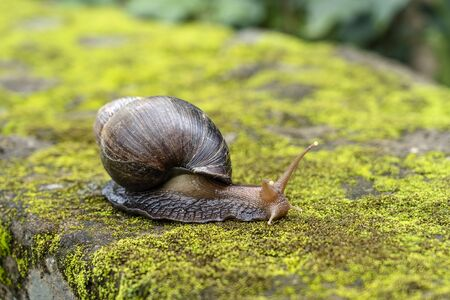 Big snail in shell crawling on moss, summer day in garden in Arusha, Tanzania, East Africa, close up