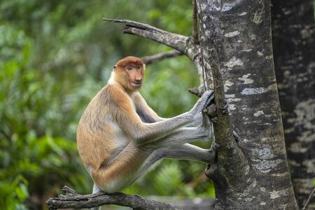 Wild Proboscis monkey or Nasalis larvatus, in the rainforest of island Borneo, Malaysia, close up