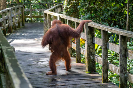Female orangutan with her baby in the rainforest of island Borneo, Malaysia, close up. Orangutan mother and her child walk on a wooden platform for tourists.