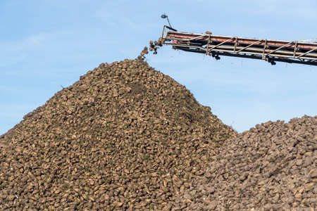 Crane conveyor of combine harvester unloading sugar beet. Harvesting machine working on farmland. Agricultural equipment. Crane conveyor unloading tubers of sugar beet from the truck to the ground Standard-Bild