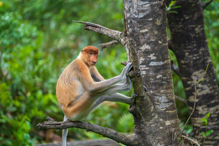 Family of wild Proboscis monkey or Nasalis larvatus, in the rainforest of island Borneo, Malaysia, close up. Amazing monkey with a big nose.