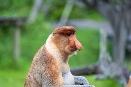 Wild Proboscis monkey or Nasalis larvatus, in the rainforest of island Borneo, Malaysia, close up