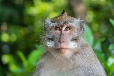 Wild monkey family at sacred monkey forest in Ubud, island Bali, Indonesia. Monkey forest park travel landmark and tourist destination site in Asia where monkeys live in a wildlife environment Foto de archivo