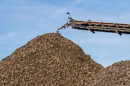Crane conveyor of combine harvester unloading sugar beet. Harvesting machine working on farmland. Agricultural equipment. Crane conveyor unloading tubers of sugar beet from the truck to the ground