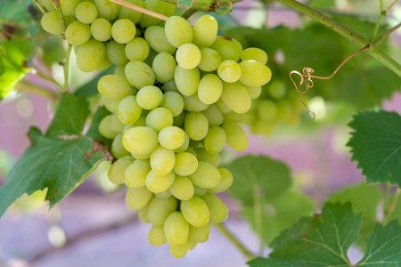Branch of ripe grape in garden. Green sweet berries growing on grape bush in fruit garden. Close up 免版税图像