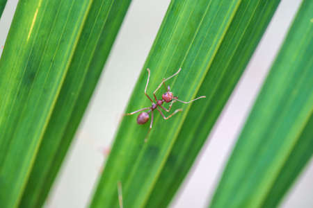 Red ants or fire ants on green palm leaf, Thailand, macro, close up
