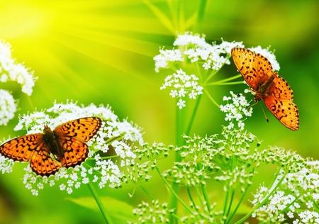 2 匹の蝶花の蜜を飲む