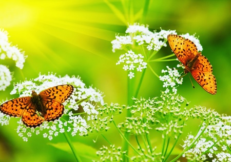 two Butterflies drink nectar in the flowers