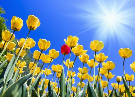 yellow tulips against the blue sky Stock Photo - 11174999