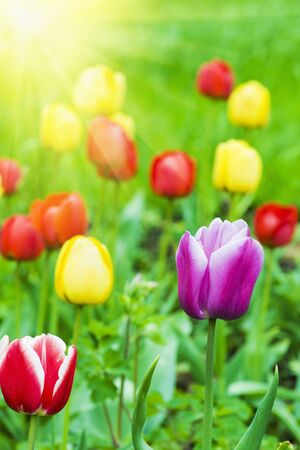 tulips in a field on a background of green grass Stock Photo - 11174034