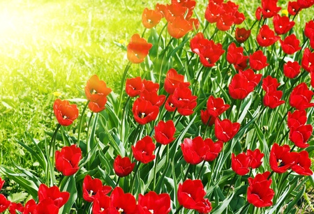spring red tulips in the sun Stock Photo - 11174998