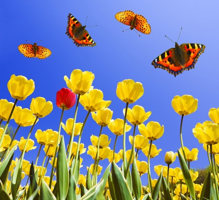 butterfly garden: Butterflies on yellow tulips in spring  Stock Photo