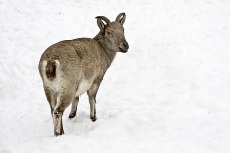 ibex ram: Vintorogy goat (Markhor) (Capra falconeri heptneri)