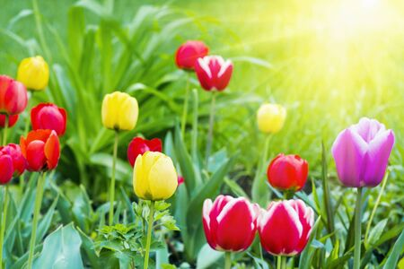 bright colored tulips in the sun Stock Photo - 11175041