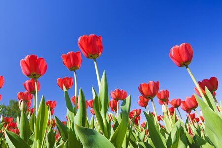 field of red tulips against the blue sky Stock Photo - 11272465
