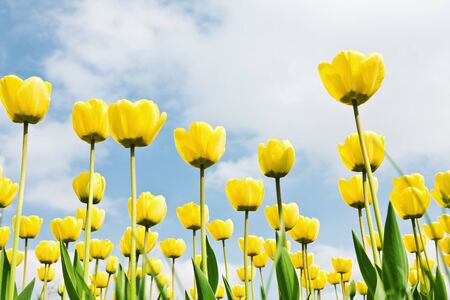 yellow tulips in a field on a background of blue sky Stock Photo - 11272514