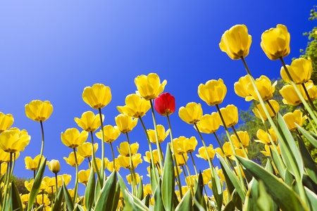 yellow tulips against the blue sky Stock Photo - 11484070