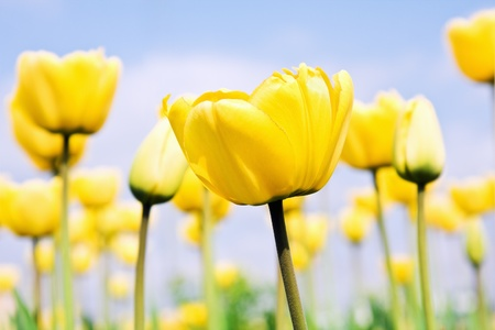 yellow tulips in a field on a background of blue sky.sharpness of the first tulip. Stock Photo - 11484196