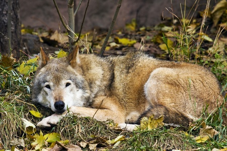 gray wolf lying on the grass and views  ����� photo