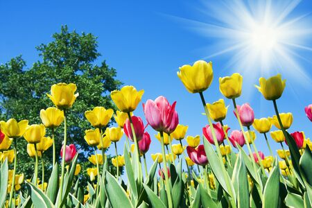 Tulips bending towards the sun. 