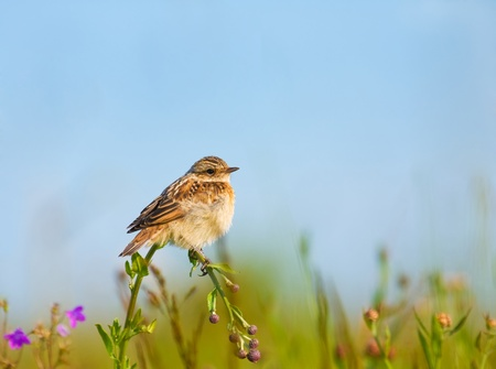 lark sits on a flower on a background of blue sky photo