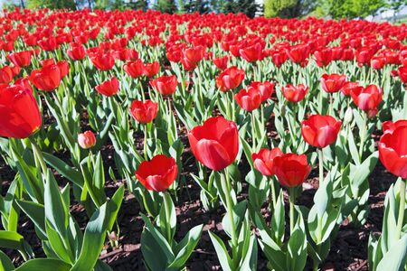 field of red tulips in the woods Stock Photo - 11931915