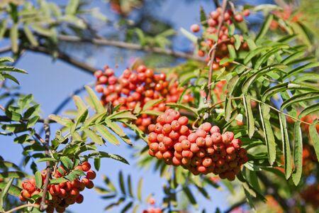 bunchy: line ripe rowan against the blue sky