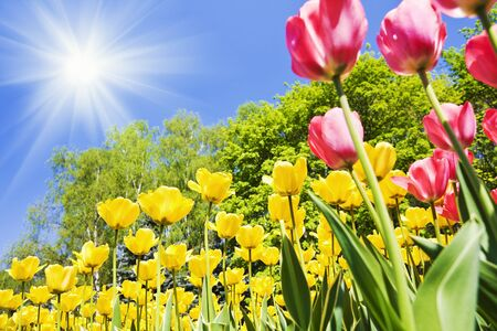 yellow and red tulips in the woods on a background of blue sky. Focus on the yellow tulips in the center Stock Photo - 11979139