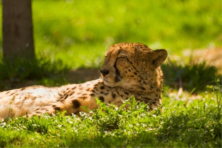 warms: leopard rests and warms in the sun Stock Photo