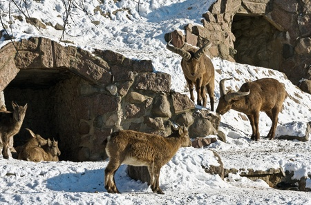 family of the East caucasian tur in winter  photo
