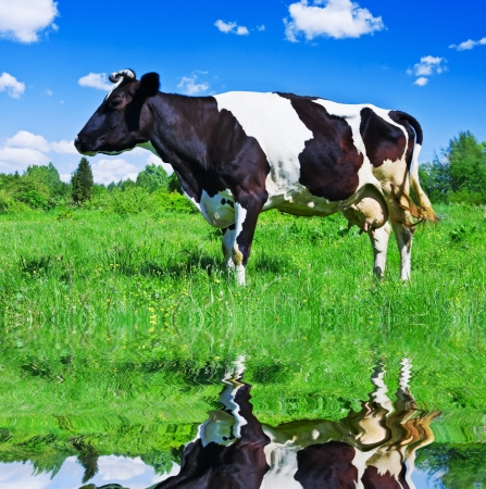 Dairy cows grazing in a field near the river photo