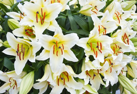Elegant beautiful white flowers, Lilies close up  photo