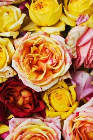 background of roses of different varieties and colors photo