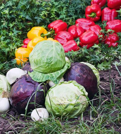 cabbage and other vegetables lie on the grass  The harvest in the autumn Stock Photo - 14592070