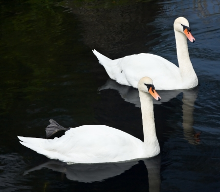 two white swans swimming on the lake photo