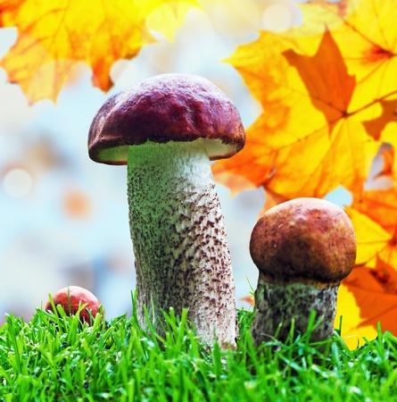 Orange Cap Boletus mushrooms (Leccinum aurantiacum) on the background of autumn leaves Stock Photo - 15281768