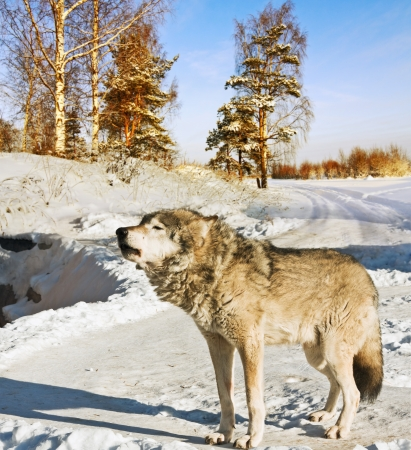 gray wolf in winter forest Stock Photo - 15640477
