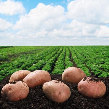 raccolta di patate a terra su uno sfondo di campo Archivio Fotografico