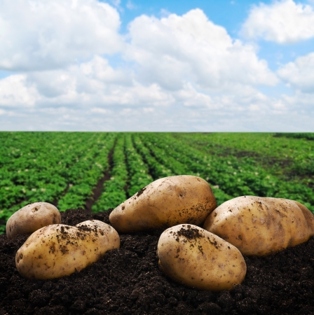 harvesting: harvesting potatoes on the ground on a background of field