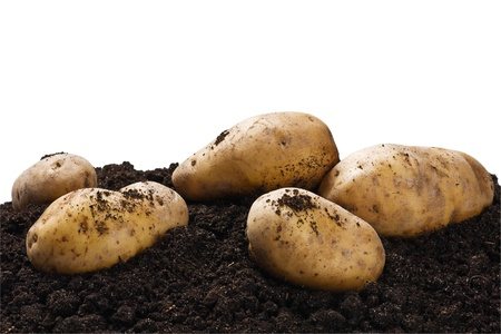 dug potatoes on the ground on a white background