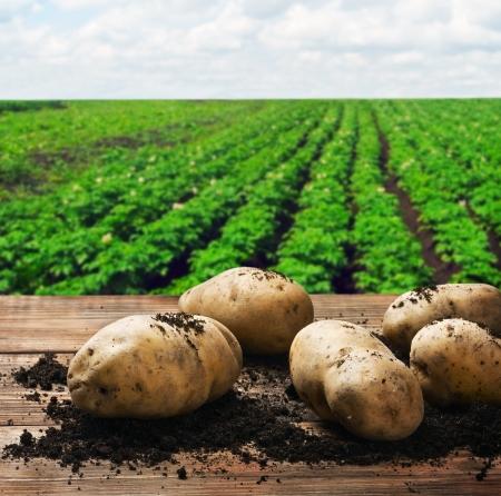 papas: la cosecha de patatas en el suelo sobre un fondo de campo