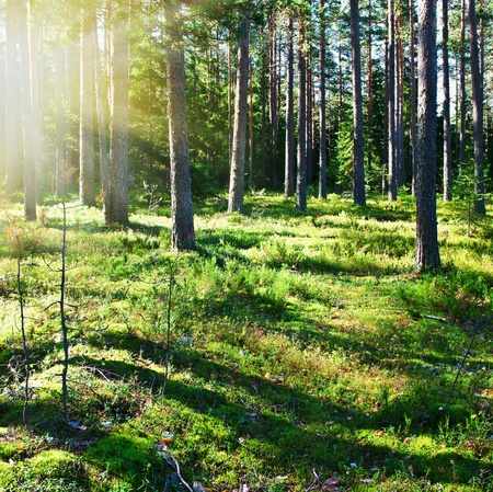 mystical pine forest in the early morning Stock Photo