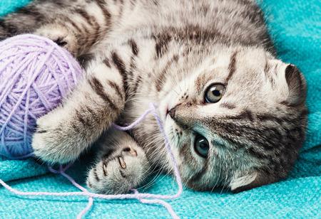 スコティッシュ ・ フォールドの子猫が糸のボールで遊ぶ。目に焦点を当てる
