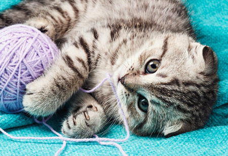 Scottish fold kitten playing with a ball of yarn. Focus on the eyes
