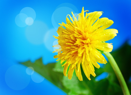 flowering dandelion on a background of blue sky photo