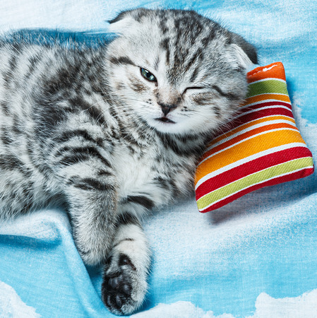 Scottish Fold kitten sleeping on a small pillow photo