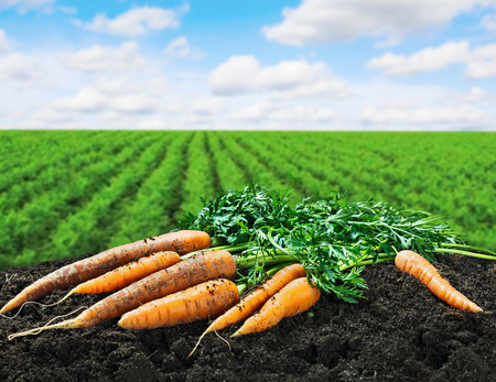 Oogst wortelen op de grond op het veld wortel Stockfoto