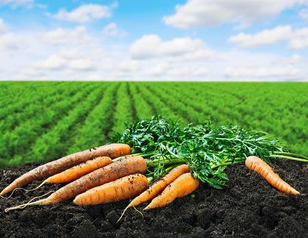 Zanahorias Cosecha en el terreno en el campo de la zanahoria Foto de archivo