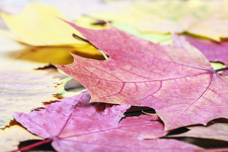 fallen autumn maple leaves on the ground photo